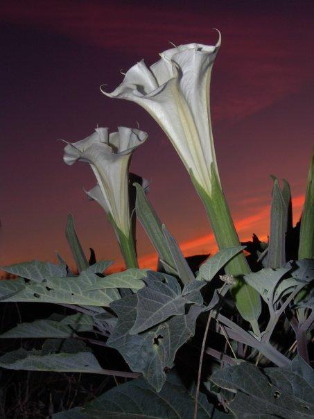 www.kizoa.com_Sacred Datura